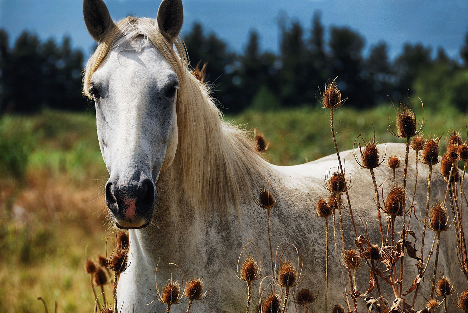 horse amongst the thistle